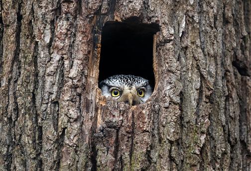 Animal「Northern hawk-owl」:スマホ壁紙(13)