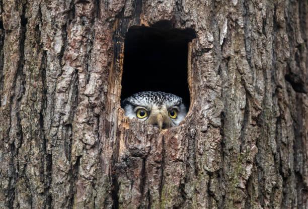 Northern hawk-owl:スマホ壁紙(壁紙.com)