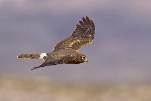 Hawk - Bird「Northern Harrier Marsh Hawk Flying over Wetland」:スマホ壁紙(19)