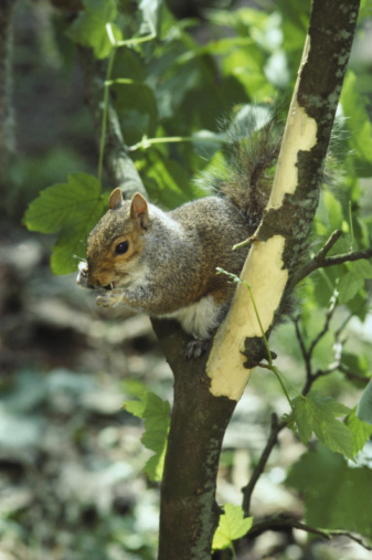 Gray Squirrel「squirrel sciurus carolinensis on sycamore」:スマホ壁紙(1)