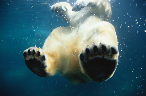 Polar Bear「Paws of a Floating Polar Bear」:スマホ壁紙(11)