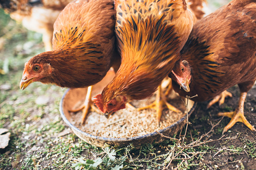 Eating「farm chicken」:スマホ壁紙(10)