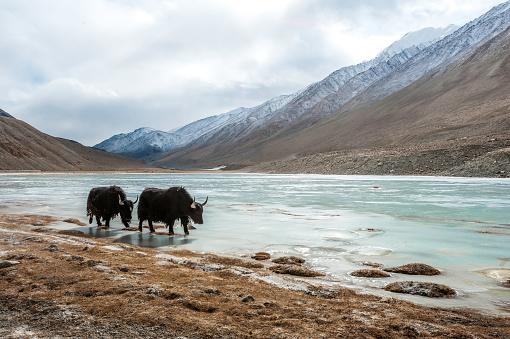 Yak「Two yaks drinking at lake, Ladakh, Jammu and Kashmir, India」:スマホ壁紙(15)