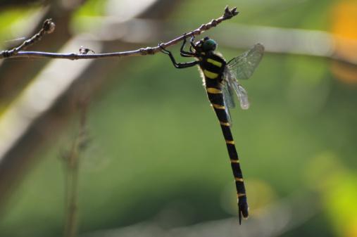 とんぼ「Golden-ringed dragonfly on tree branch」:スマホ壁紙(16)