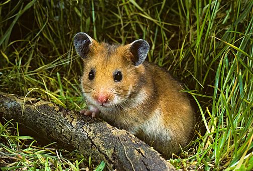 Hamster「Mesocricetus auratus (golden hamster, Syrian hamster) - portrait」:スマホ壁紙(18)
