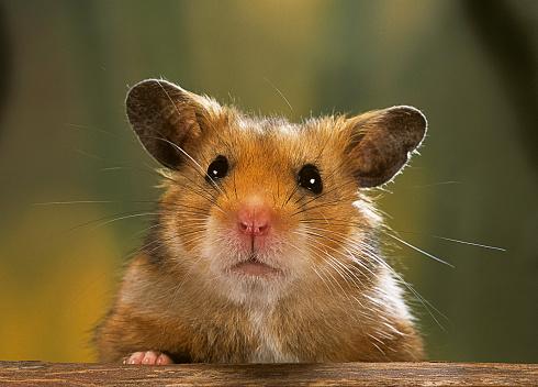Hamster「Mesocricetus auratus (golden hamster, Syrian hamster) - portrait」:スマホ壁紙(4)