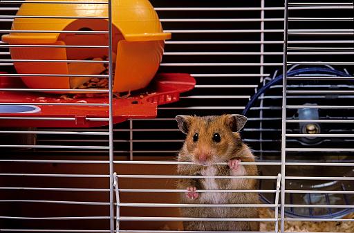 Hamster「Mesocricetus auratus (golden hamster, Syrian hamster) - in its cage」:スマホ壁紙(14)