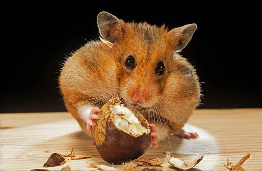 chestnut「Mesocricetus auratus (golden hamster, Syrian hamster) - feeding on a chestnut」:スマホ壁紙(8)