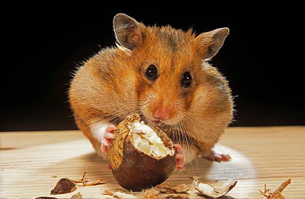 Mesocricetus auratus (golden hamster, Syrian hamster) - feeding on a chestnut:スマホ壁紙(壁紙.com)