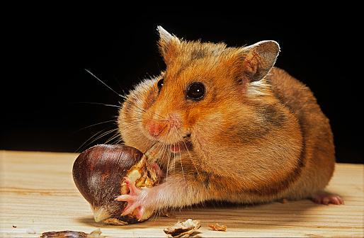 Eating「Mesocricetus auratus (golden hamster, Syrian hamster) - feeding on a chestnut」:スマホ壁紙(13)