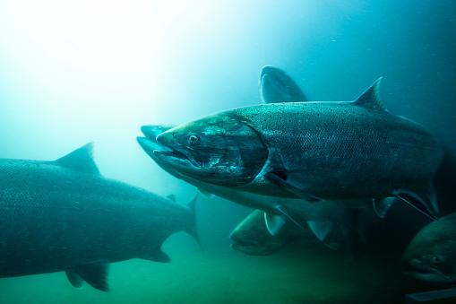Columbia River「Salmon School River.」:スマホ壁紙(19)