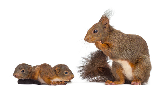 Squirrel「Mother Red squirrel and babies」:スマホ壁紙(13)