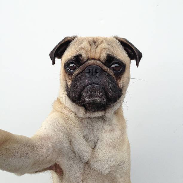 Pug dog taking a selfie:スマホ壁紙(壁紙.com)