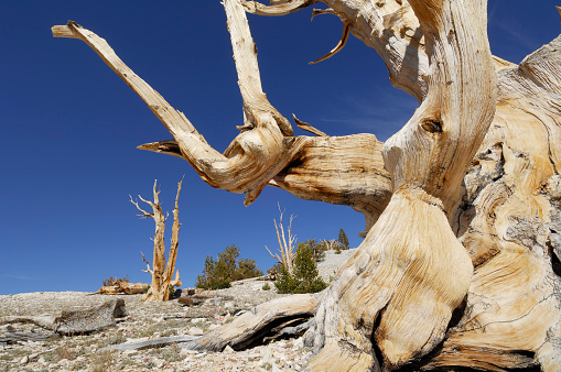 インヨー国有林「Bristlecone Pine Tree (Pinus longaeva).」:スマホ壁紙(19)