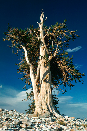Inyo National Forest「Bristlecone Pine」:スマホ壁紙(17)