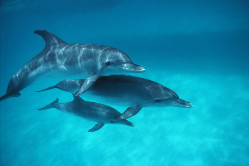 Animal Family「Atlantic spotted dolphins (Stenella frontalis) adults with juvenile」:スマホ壁紙(5)