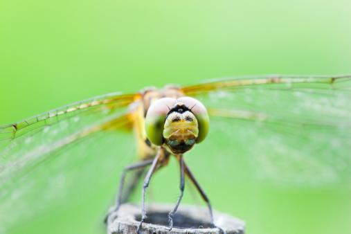 とんぼ「Dragonfly (Sympetrum infuscatum)」:スマホ壁紙(14)