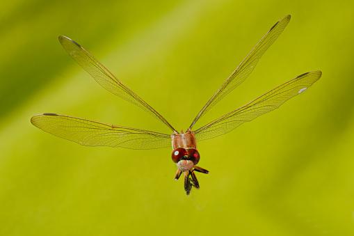 とんぼ「Dragonfly」:スマホ壁紙(14)