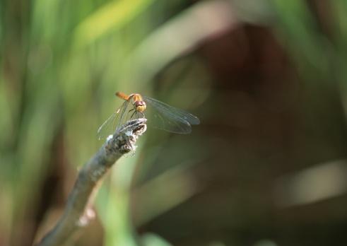 とんぼ「Dragonfly」:スマホ壁紙(18)