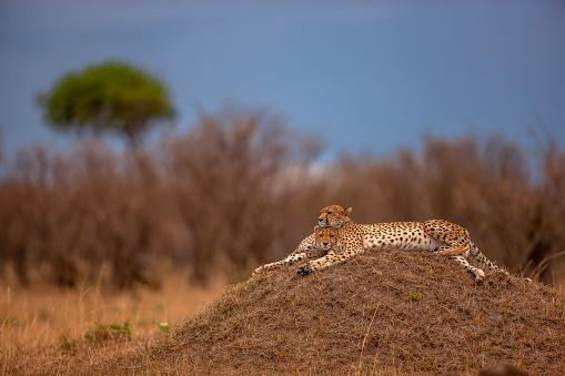 African Cheetah「A lovely shot of two adult cheetahs (Acinonyx jubatus) resting on a mound at plain」:スマホ壁紙(11)