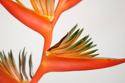 Heliconia「Tropical Orange」:スマホ壁紙(17)