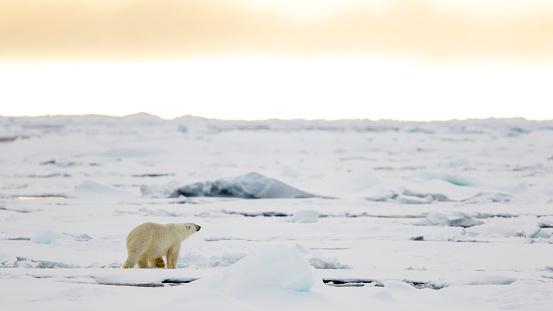 Polar Bear「Lonely bear on the pack ice, Ursus Maritimus, Spitzbergen, Svalbard」:スマホ壁紙(16)