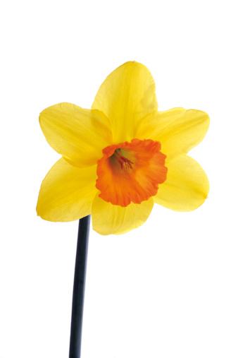 水仙「'Daffodil, close-up'」:スマホ壁紙(7)