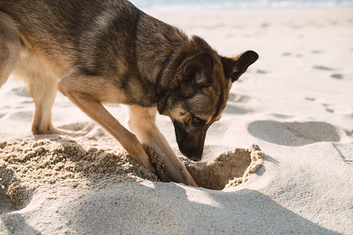 掘る「Mongrel dog digging in the sand of the beach」:スマホ壁紙(2)