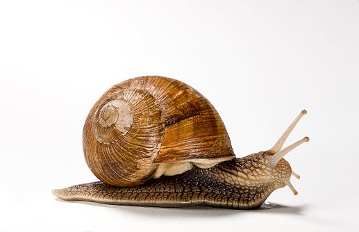 カタツムリ「Helix pomatia (burgundy snail, Roman snail, edible snail, escargot)」:スマホ壁紙(2)