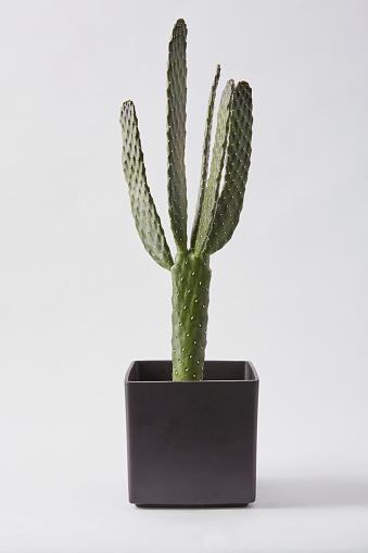 Cactus「Consolea Macracantha」:スマホ壁紙(1)