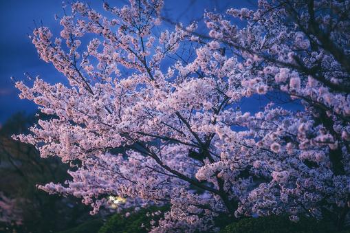 夜桜「京都で夜さくら japan します。」:スマホ壁紙(12)