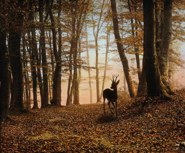 Animal Body Part「Roebuck in the forest. Lower Austria. Hand-colored lantern slide. Around 1910.」:写真・画像(0)[壁紙.com]