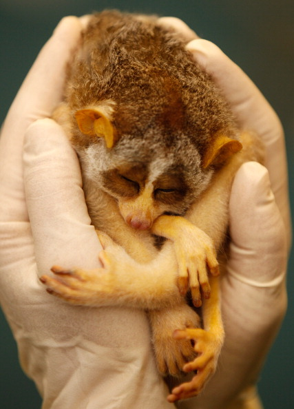 動物「Two Baby Loris Are Given A Health Check By Veterinary Staff At London Zoo」:写真・画像(13)[壁紙.com]