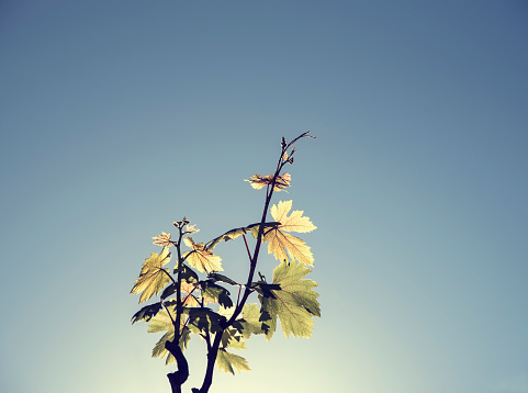 Pastel「Backlit vine leaves against clear blue sky」:スマホ壁紙(3)