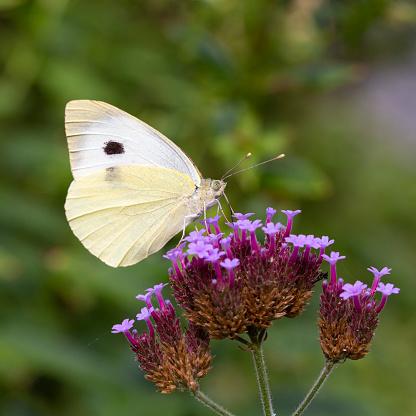Vervain「Female Large white butterfly feeding on Purpletop Vervain」:スマホ壁紙(17)