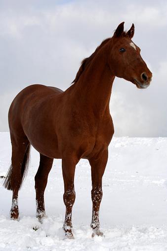 Stallion「Horse in the snow」:スマホ壁紙(19)