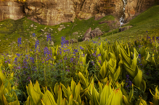 Corn Lilly「Alpine Wildflowers」:スマホ壁紙(10)