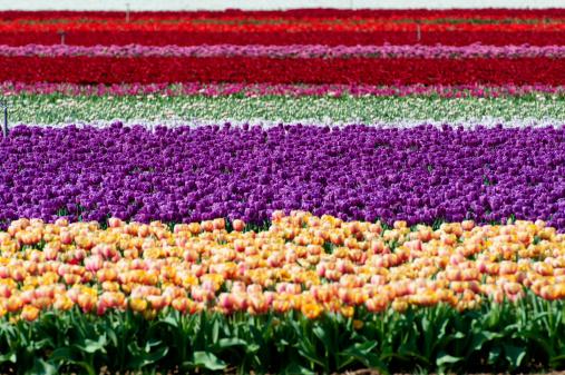 チューリップ「Tulips harvesting, Provence, France」:スマホ壁紙(13)
