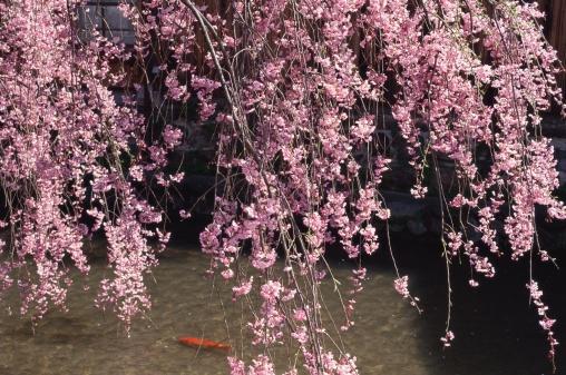 Carp「Gion, Kyoto Prefecture, Japan」:スマホ壁紙(3)