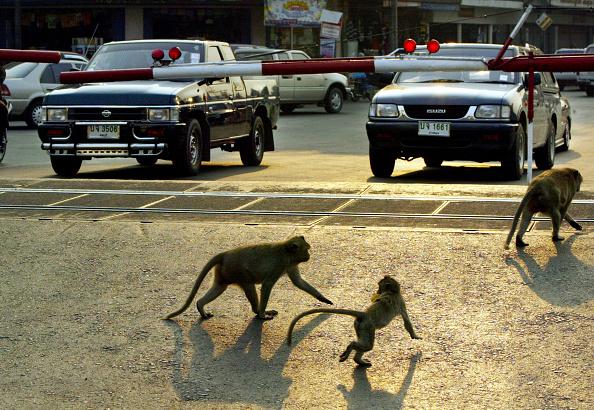 Monkey「Monkeys Of Lopburi, Thailand」:写真・画像(7)[壁紙.com]