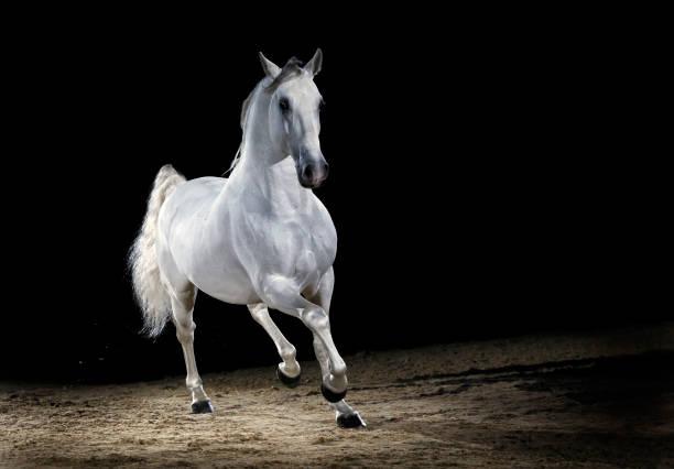 Lipizzaner horse stallion trotting:スマホ壁紙(壁紙.com)