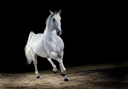 Stallion「Lipizzaner horse stallion trotting」:スマホ壁紙(13)