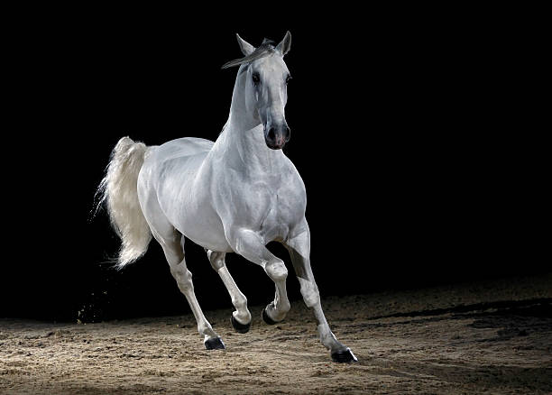 Lipizzaner horse trotting:スマホ壁紙(壁紙.com)