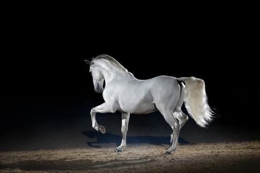 Stallion「Lipizzaner horse trotting free」:スマホ壁紙(15)