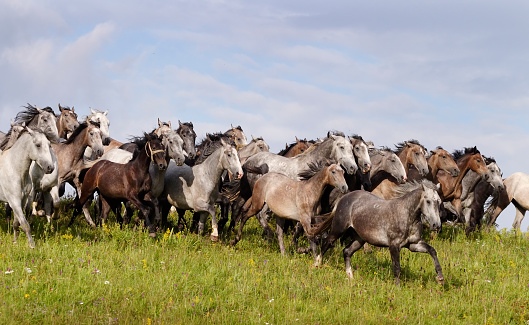 Stallion「Lipizzaner stud galloping free」:スマホ壁紙(9)