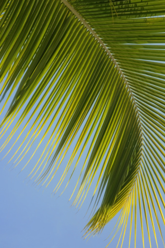 Fan Palm Tree「Palm tree frond against blue sky」:スマホ壁紙(1)