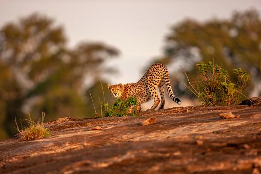 African Cheetah「A side view scene of an adult cheetah (Acinonyx jubatus) standing on a rock at plain」:スマホ壁紙(7)