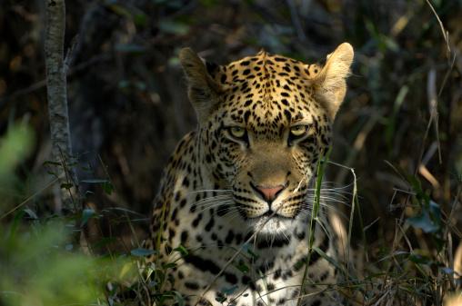 Animal Whisker「The most powerfull predator - a male leopard」:スマホ壁紙(19)