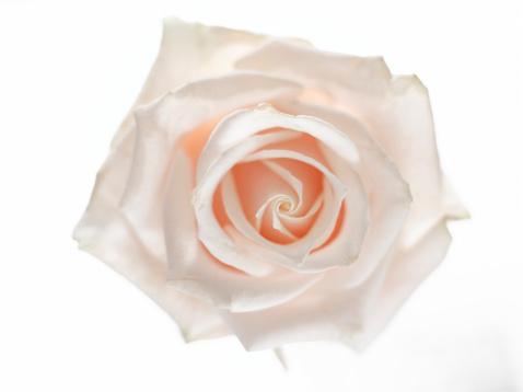 Innocence「Rose flower, close-up」:スマホ壁紙(7)