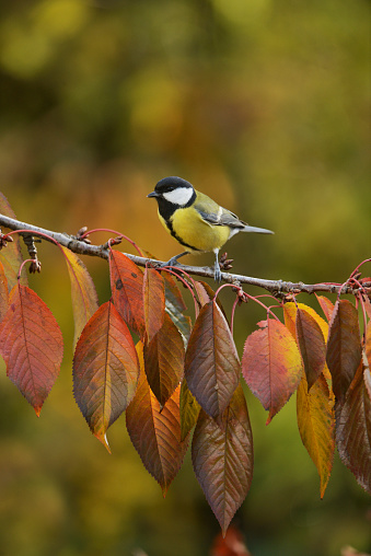 桜「Great Tit (Parus major), adult perching on autumn branch of Cherry tree (Prunus sp.), Oberaegeri, Switzerland」:スマホ壁紙(17)